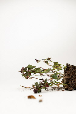 Paolo Martinez WITHERED PLANT IN SOIL KNOCKED OVER