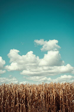 Svetlana Bekyarova MAIZE FIELD WITH BLUE SKY AND CLOUDS