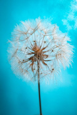 Magdalena Wasiczek DANDELION HEAD WITH SEEDS