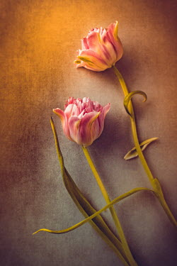 Magdalena Wasiczek TWO PINK TULIPS WITH SUNLIGHT