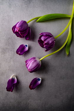 Magdalena Wasiczek PURPLE TULIPS WITH SCATTERED PETALS