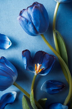 Magdalena Wasiczek BLUE TULIPS WITH SCATTERED PETALS