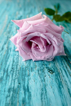 Magdalena Wasiczek PINK ROSE ON TURQUOISE WOOD