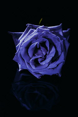Magdalena Wasiczek CLOSE UP OF BLUE ROSE IN SHADOW