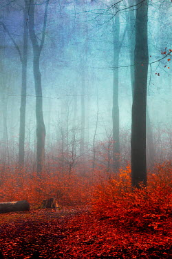 Dirk Wustenhagen FOGGY FOREST WITH AUTUMN LEAVES