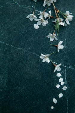 Lisa Bonowicz WHITE BLOSSOM AND PETALS ON MARBLE
