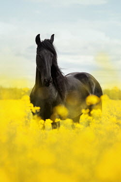 Anna Sychowicz BLACK HORSE STANDING IN YELLOW FIELD