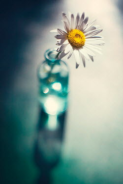 Susan Fox DAISY IN SMALL BOTTLE WITH SHADOW