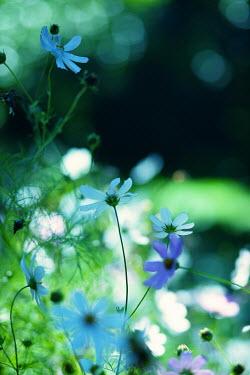 Kerstin Marinov BLUE AND WHITE FLOWERS IN SUMMERY GARDEN