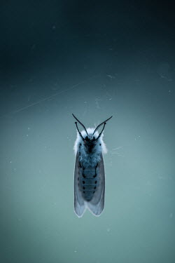 Magdalena Russocka white moth on glass