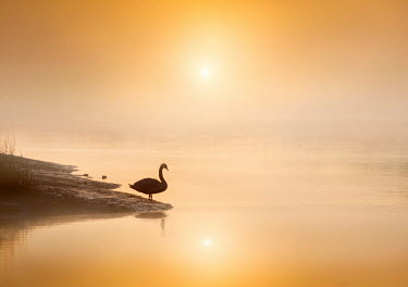 Adrian Leslie Campfield SILHOUETTED SWAN BY LAKE AT SUNSET