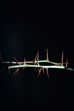 Magdalena Russocka acacia branches with thorns in shadow