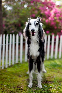 Susan Fox DOG STANDING IN GARDEN WITH PICKET FENCE