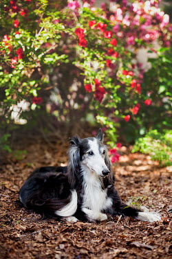 Susan Fox BLACK AND WHITE DOG LYING IN SUMMERY GARDEN