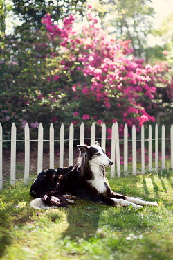 Susan Fox BLACK AND WHITE DOG LYING BY FENCE IN GARDEN