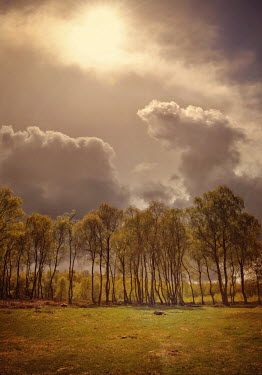 Lyn Randle ROW OF TALL TREES WITH SUN AND CLOUDS
