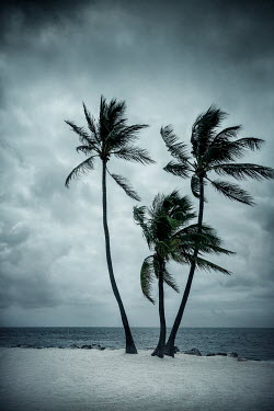 Evelina Kremsdorf PALM TREES BLOWING IN THE WIND ON BEACH