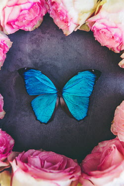 Isabelle Lafrance CIRCLE OF PINK ROSES WITH BLUE BUTTERFLY