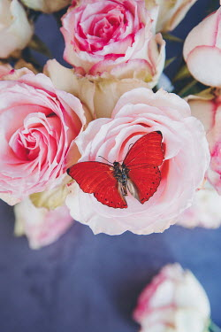 Isabelle Lafrance RED BUTTERFLY ON PINK ROSES