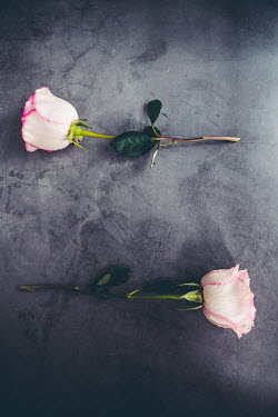 Isabelle Lafrance TWO PINK AND WHITE ROSES