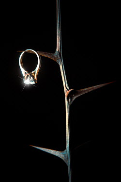 Magdalena Russocka acacia branch and engagement ring hanging from thorn