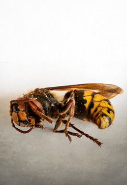 Jaroslaw Blaminsky CLOSE UP OF DEAD WASP