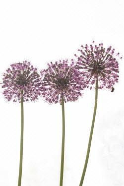 Liz Dalziel THREE ROUND PINK FLOWERS