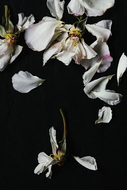 Matilda Delves WILTED WHITE ROSES WITH RAINDROPS