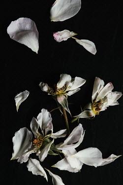 Matilda Delves WILTED WHITE ROSES