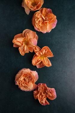 Cristina Mitchell WILTED ORANGE ROSES