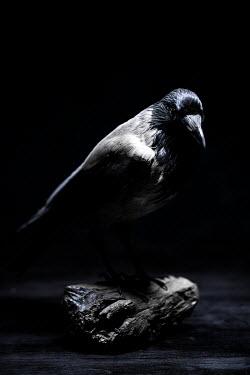 Joanna Jankowska BLACK BIRD ON STANDING ON TABLE