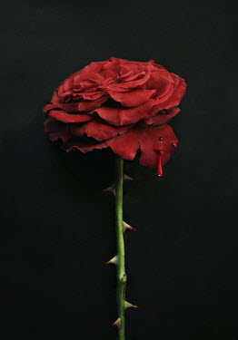 Lyn Randle THORNY RED ROSE WITH DRIPPING BLOOD