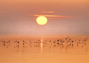 Adrian Leslie Campfield FLOCK OF BIRDS FLYING OVER WATER AT SUNSET