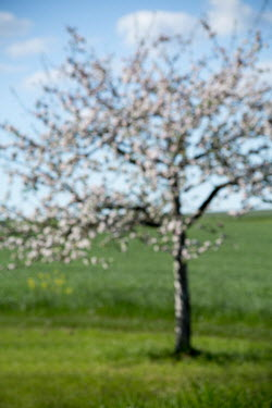Carmen Spitznagel TREE WITH BLOSSOM IN GREEN FIELD