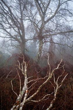 David Baker FALLEN SILVER BIRCH TREES