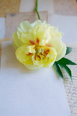 Isabelle Lafrance YELLOW FLOWER ON BLANK PAPER