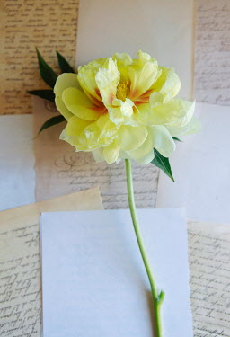 Isabelle Lafrance YELLOW FLOWER LYING ON LETTERS