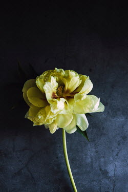 Isabelle Lafrance WILTING YELLOW FLOWER IN SHADOW