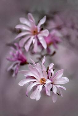 Jaroslaw Blaminsky PINK MAGNOLIA FLOWERS OUTDOORS
