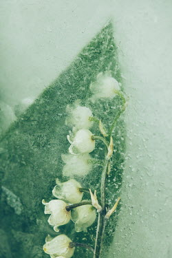 Isabelle Lafrance FROZEN LILY OF THE VALLEY