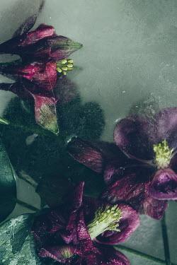 Isabelle Lafrance FROZEN PURPLE FLOWERS