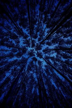 Jaroslaw Blaminsky TALL TREES WITH BLUE SKY FROM BELOW
