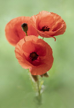 Jaroslaw Blaminsky CLOSE UP OF RED POPPIES OUTDOORS
