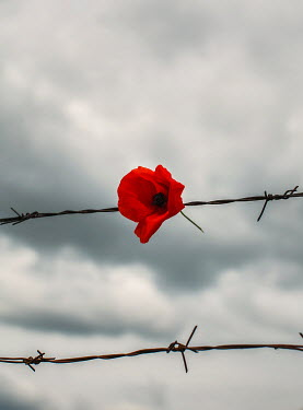 Nikaa RED POPPY ON BARBED WIRE FENCE