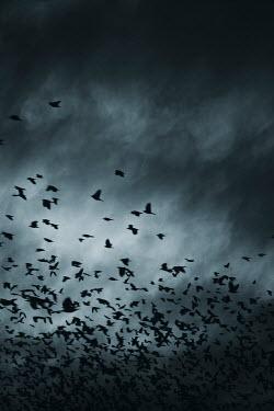 Andrei Cosma FLOCK OF BIRDS FLYING IN STORMY SKY