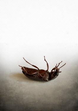 Jaroslaw Blaminsky BROWN BEETLE LYING ON BACK
