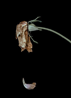 Magdalena Russocka dried rose with petal falling down