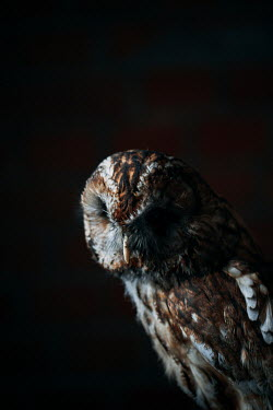 Joanna Jankowska CLOSE UP OF BROWN OWL IN SHADOW