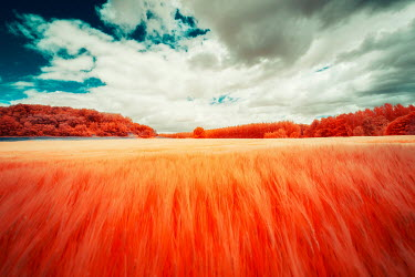 David Keochkerian ORANGE FIELD AND FORESTS WITH CLOUDS IN SKY