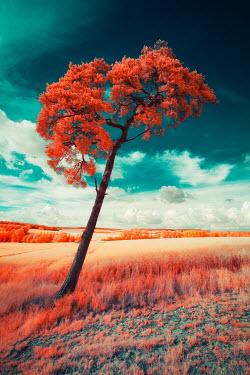 David Keochkerian ORANGE FIELD AND TREE BLUE SKY